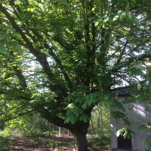 Oude kastanjeboom behouden